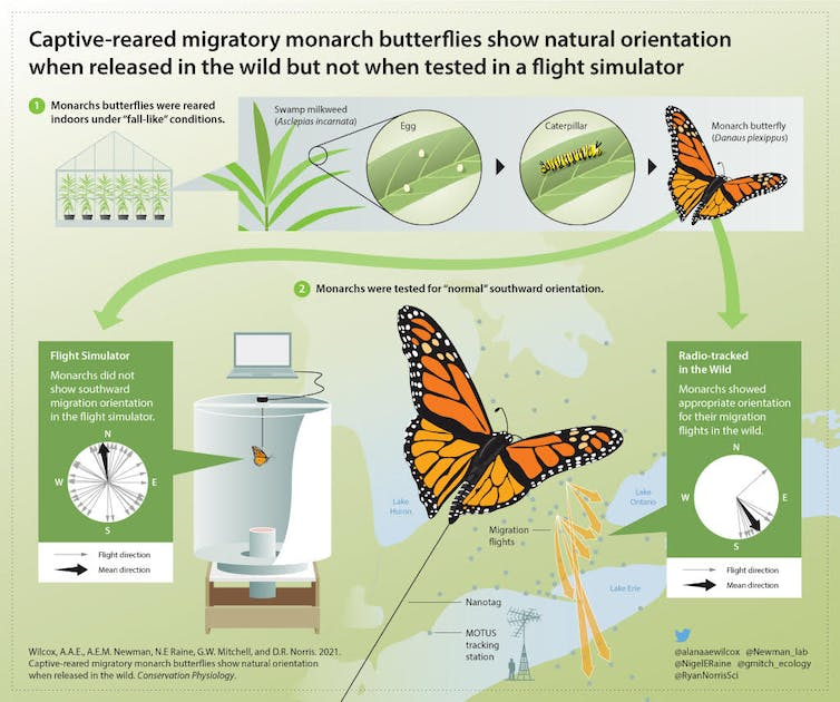 an infographic showing the results of the experiment — monarchs released in the wild could re-orient themselves