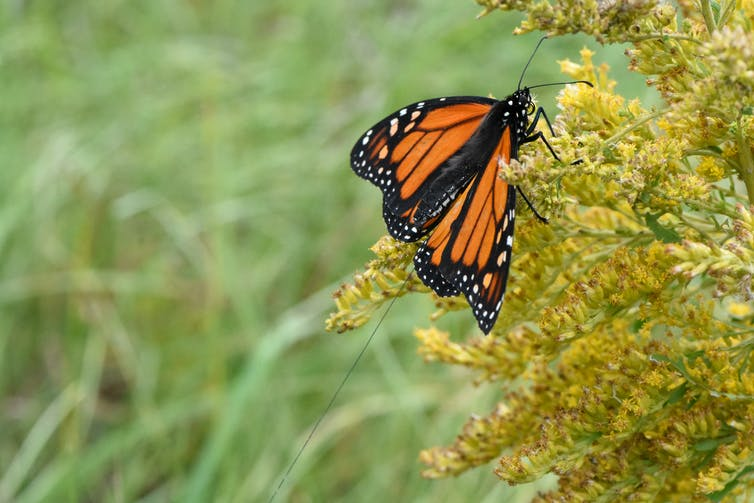 Monarch butterfly with a radio-tracking tag