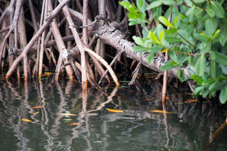 Un gros plan de racines de mangrove à la ligne de flottaison