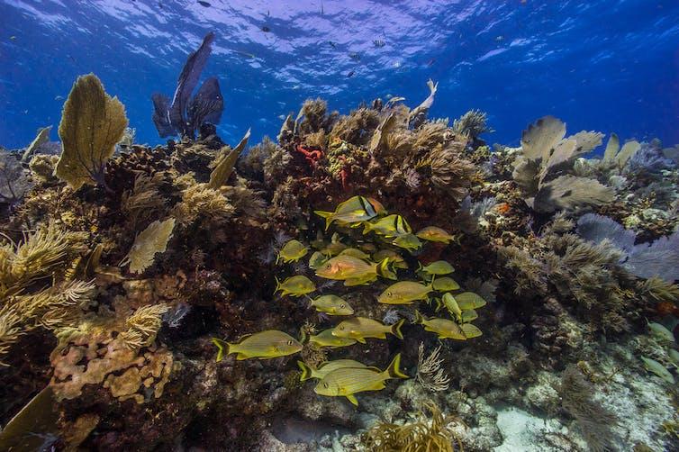 Les poissons nagent à travers les plantes marines poussant sur un récif de corail.