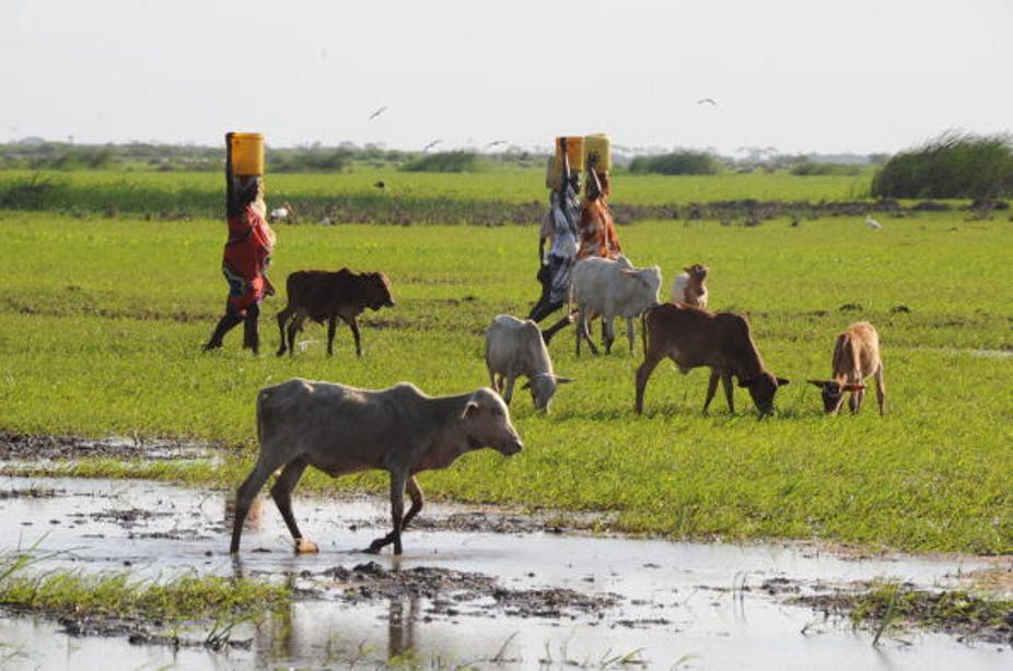 Women walk past cattle in a field, carrying buckets on their heads