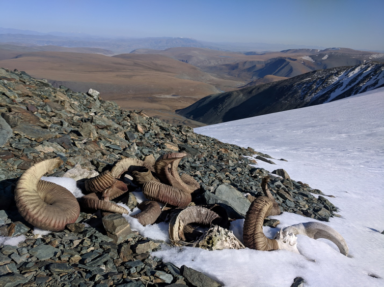 a pile of sheep skulls and horns on stones at the edge of the ice