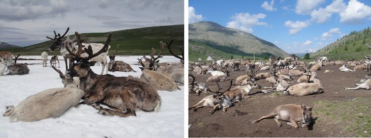 left panel: reindeer lounge on ice; right panel: reindeer lounge on bare ground