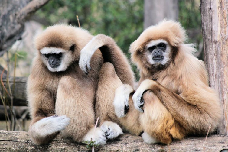 Two gibbons, just chilling.