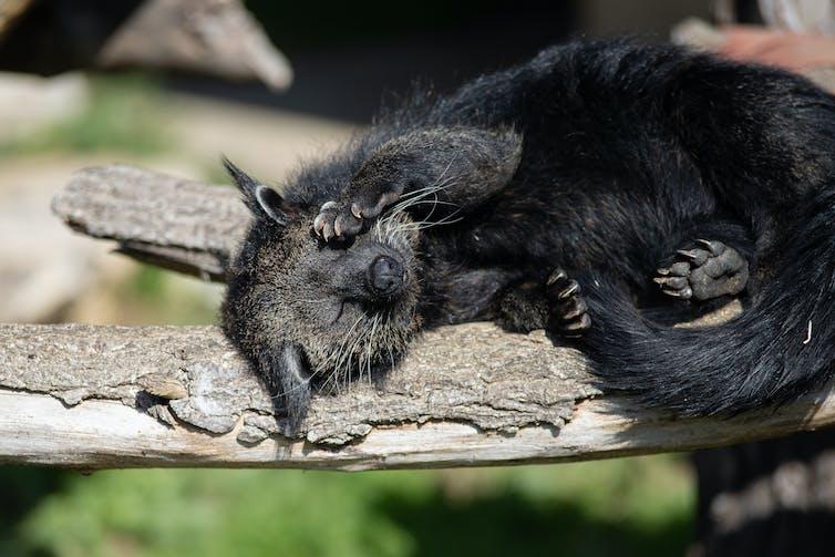 A binturong having a nap, for a little treat.