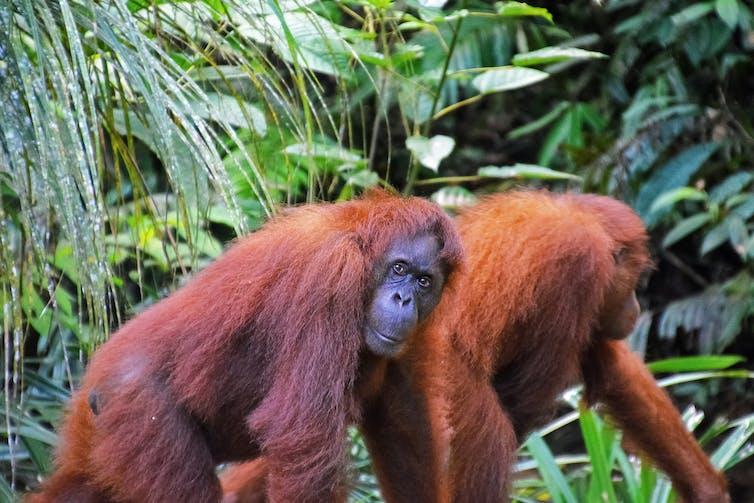 Two orangutans, on a walk.