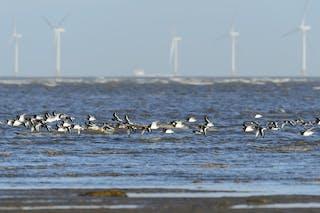 Una bandada de aves marinas vuela bajo sobre el mar con turbinas eólicas de fondo.