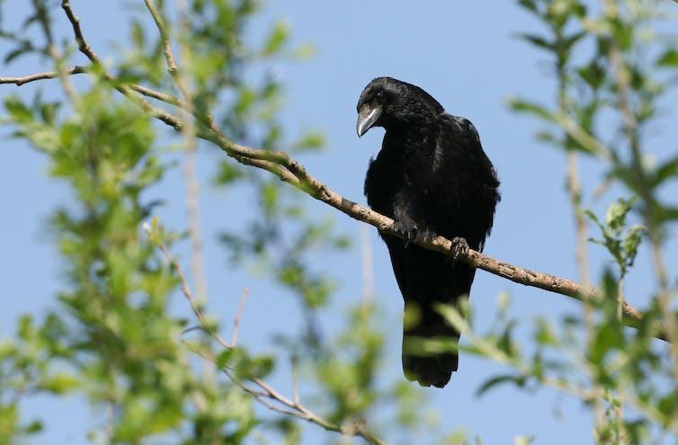 Un corbeau sur une branche
