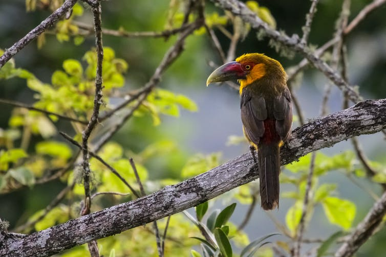 A yellow-chested and green-feathered tropical bird sitting on a branch.