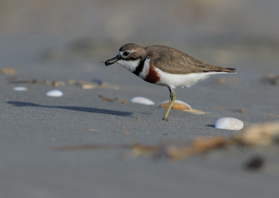 A double banded dotterel.