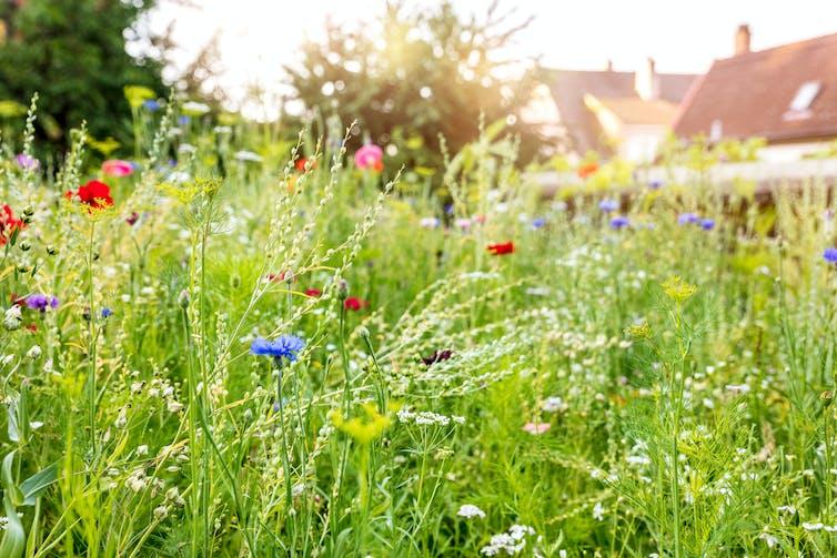 Wildflower meadow in back garden.