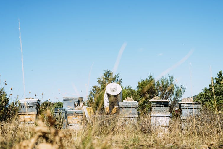 Beehives in field with beekeeper.