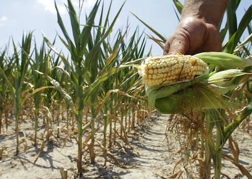 A hand holds a cob of heat-stricken corn in a corn field