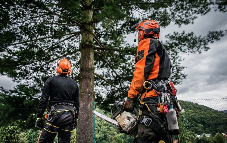 Two geared-up arborists look at a tree