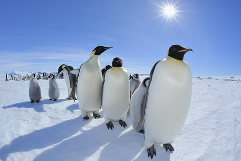 98% of emperor penguin colonies could be extinct by 2100 as ice melts -- can Endangered Species Act protection help them?