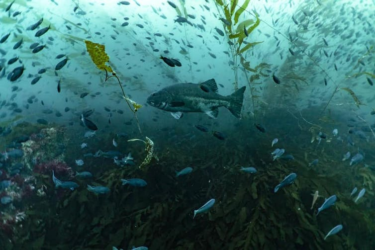 A large dark fish swimming in a kelp forest and surrounded by smaller fish.
