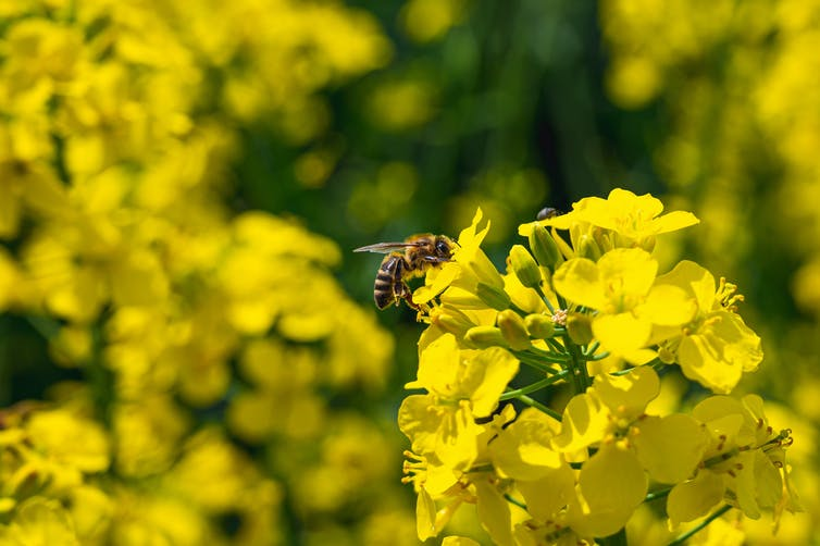 A honeybee on a yellow plant.