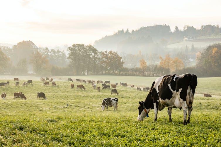 Cows in a misty field