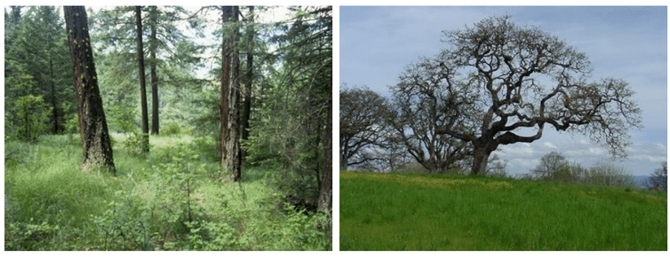 Two images: a thinned forest and a tree in grasslands.