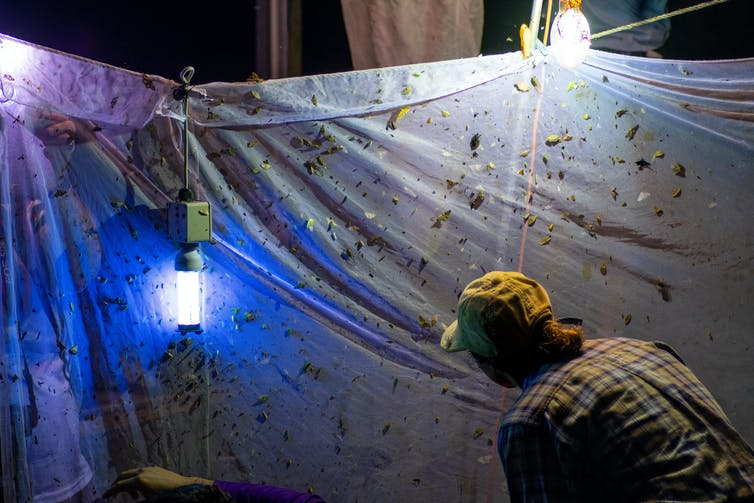 Entomologist looks at netting with lights to attract insects in the dark