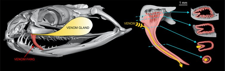 Diagram of taipan skull showing fangs and venom groove