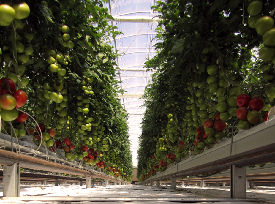 Tomatoes watered by the sea: sprouting a new way of farming