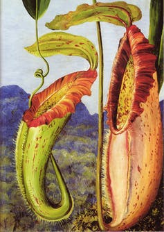 pitcher plant drawing