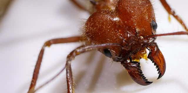 A photos of a reddish ant head showing its large mandibles.