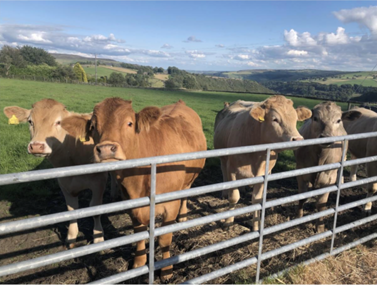 Some cattle behind a gate