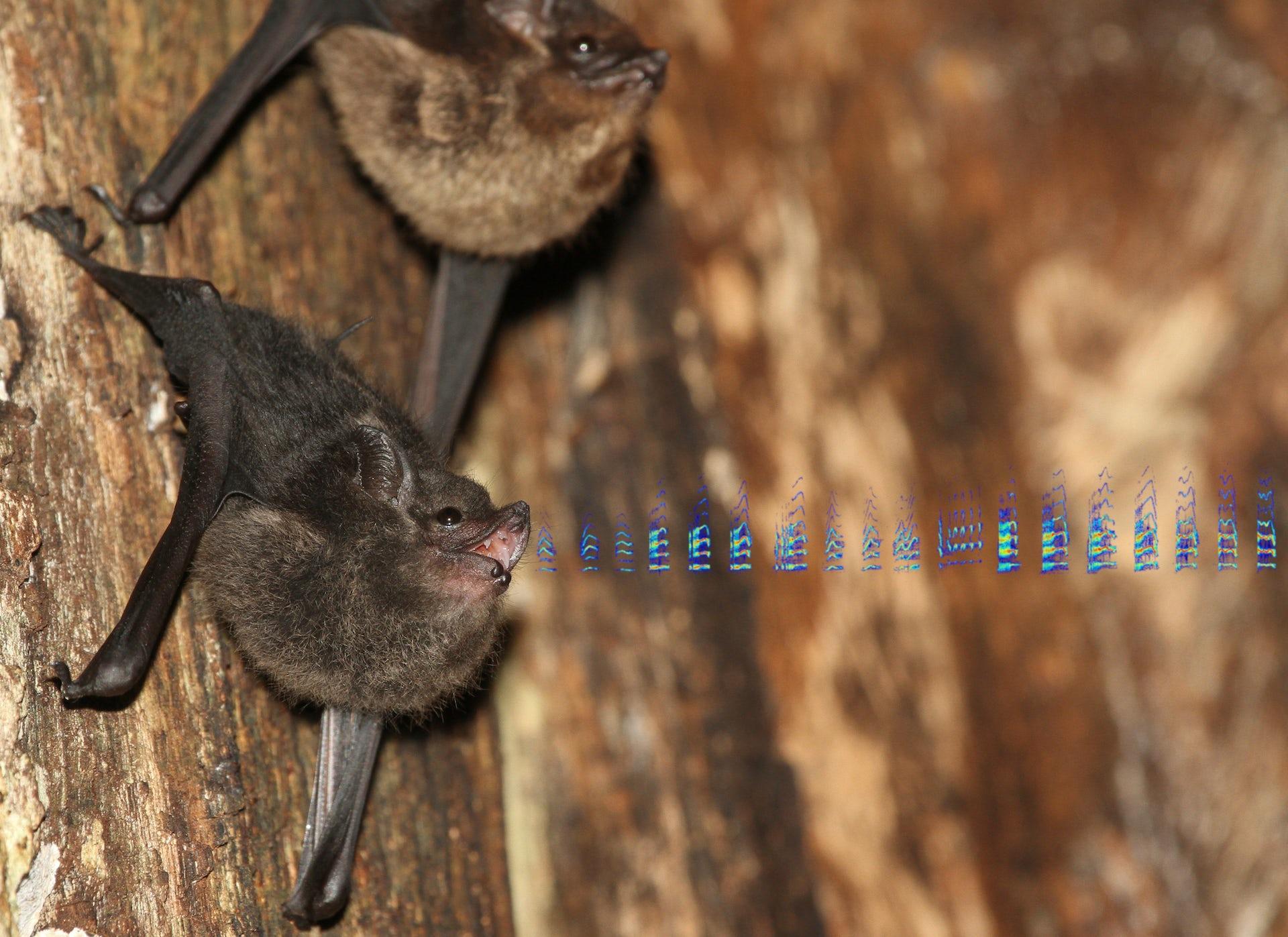 Bat pups babble and bat moms use baby talk, hinting at the evolution of human language