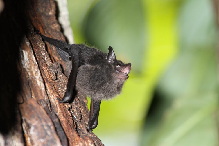 brown bat on tree with its mouth open while vocalizing