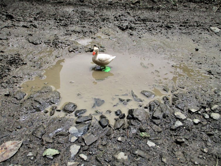 A duck stands in a puddle.