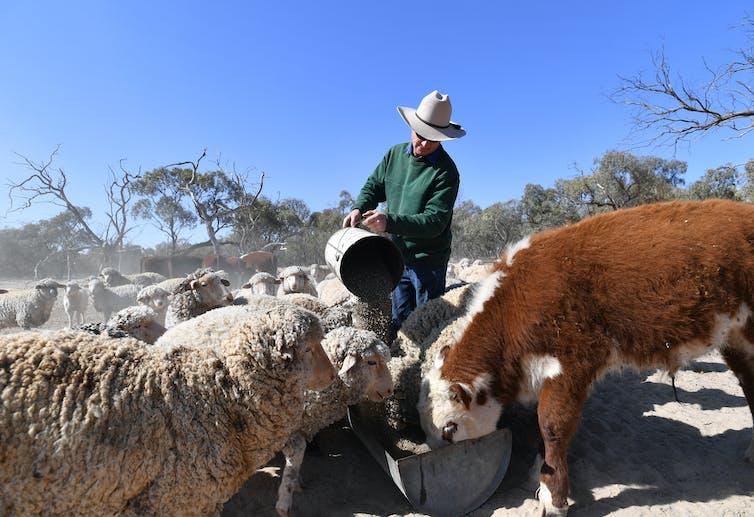 farmer feeds cattle