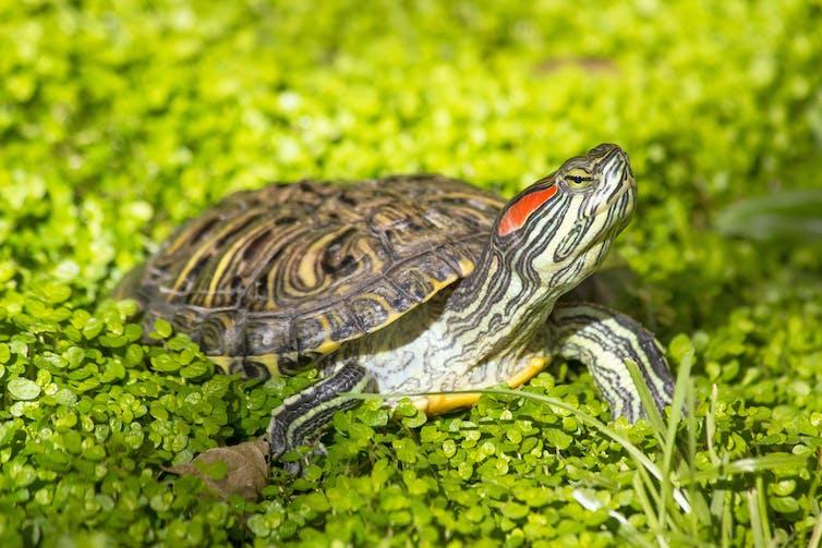 Uma tartaruga com uma listra vermelha na cabeça cercada por vegetação