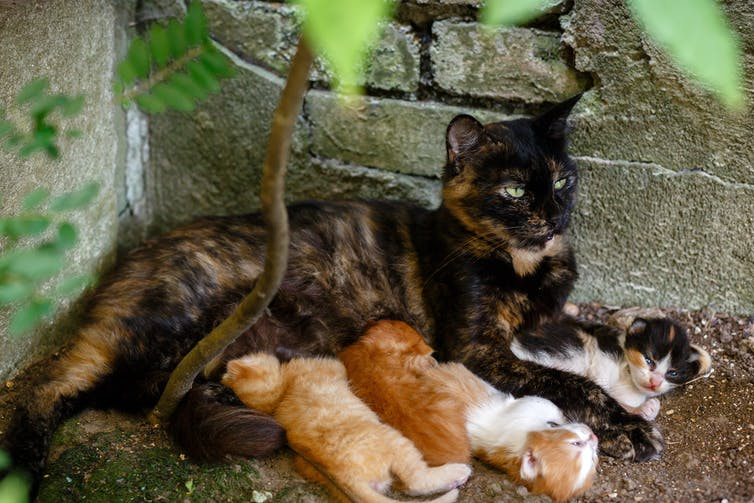 Stray cat feeding kittens