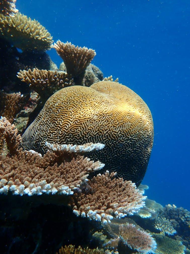 Platygyra coral colony