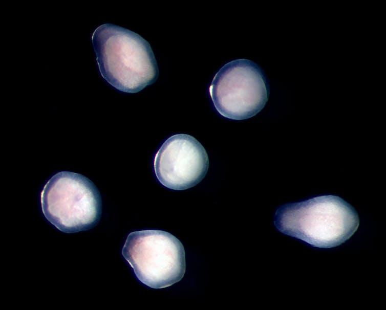 Platygyra larvae