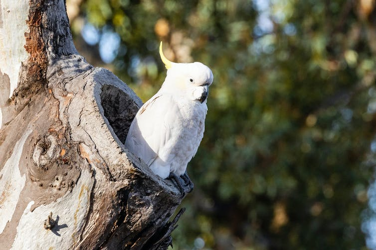 A cockatoo sits in a hollow.