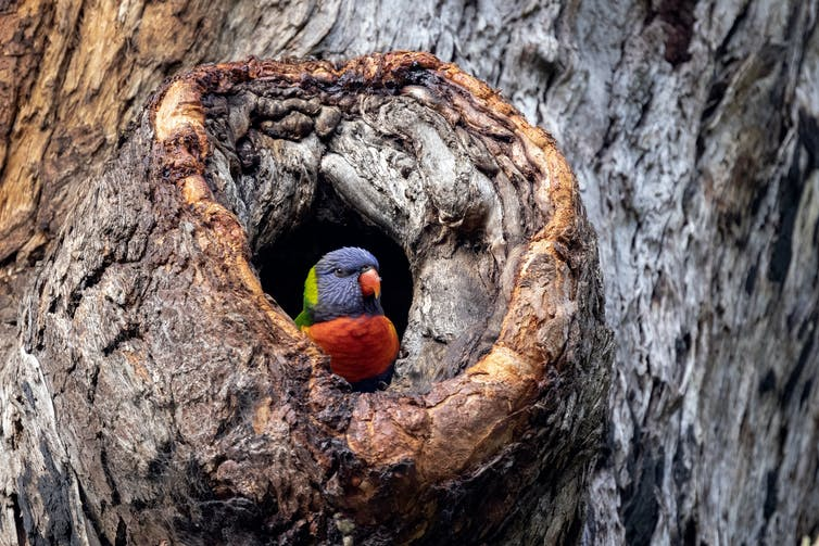 A rainbow lorikeet hides in a hollow.