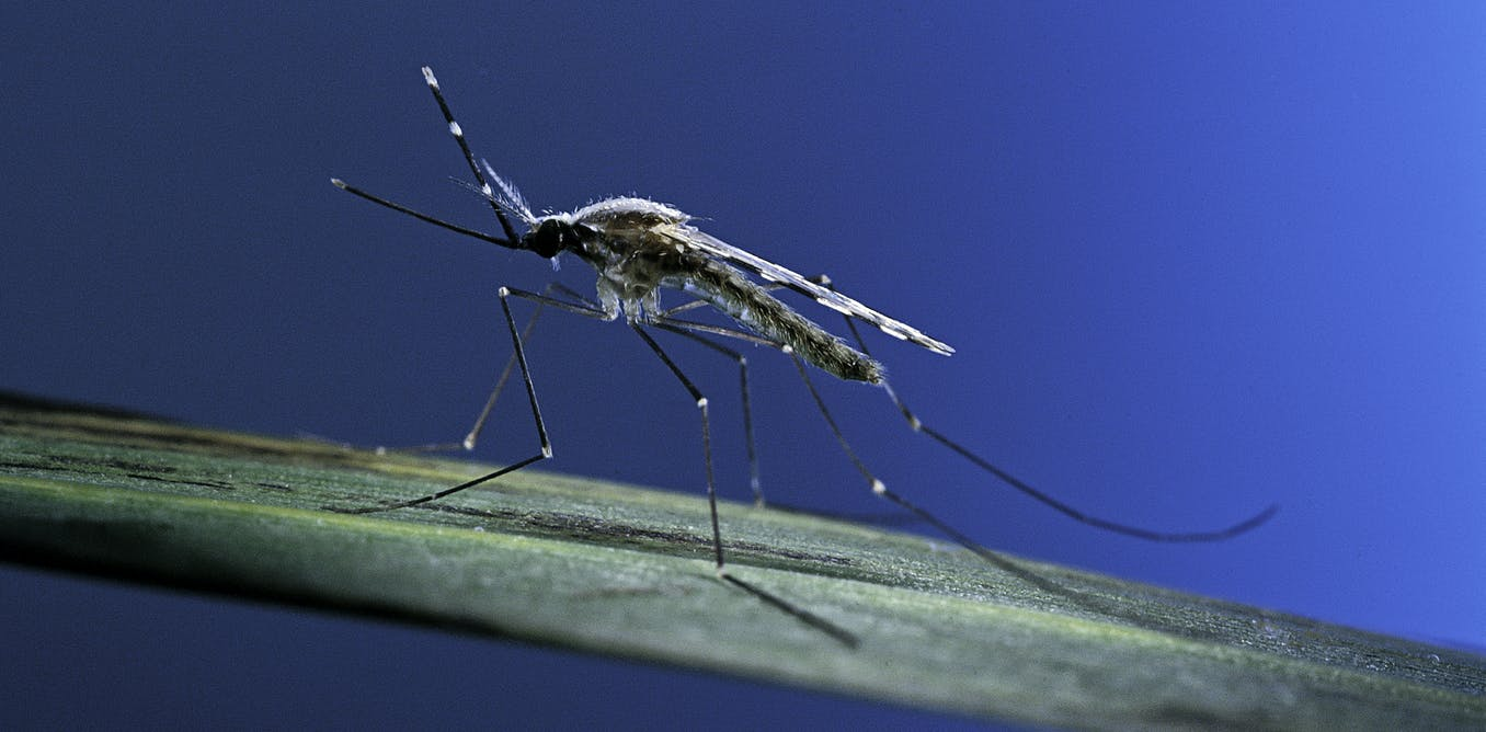 Image Genetically changed mosquitoes could transform Africa's long fight against malaria