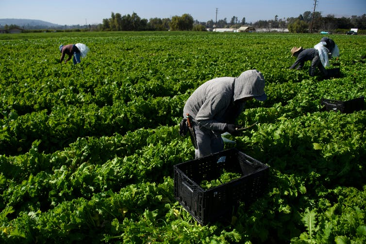 Workers cut greens in a field.