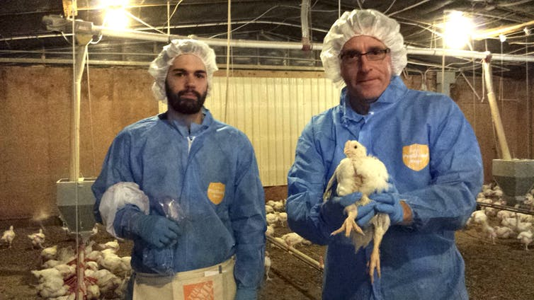Penn State biologist Andrew Read holds chicken at poultry farm