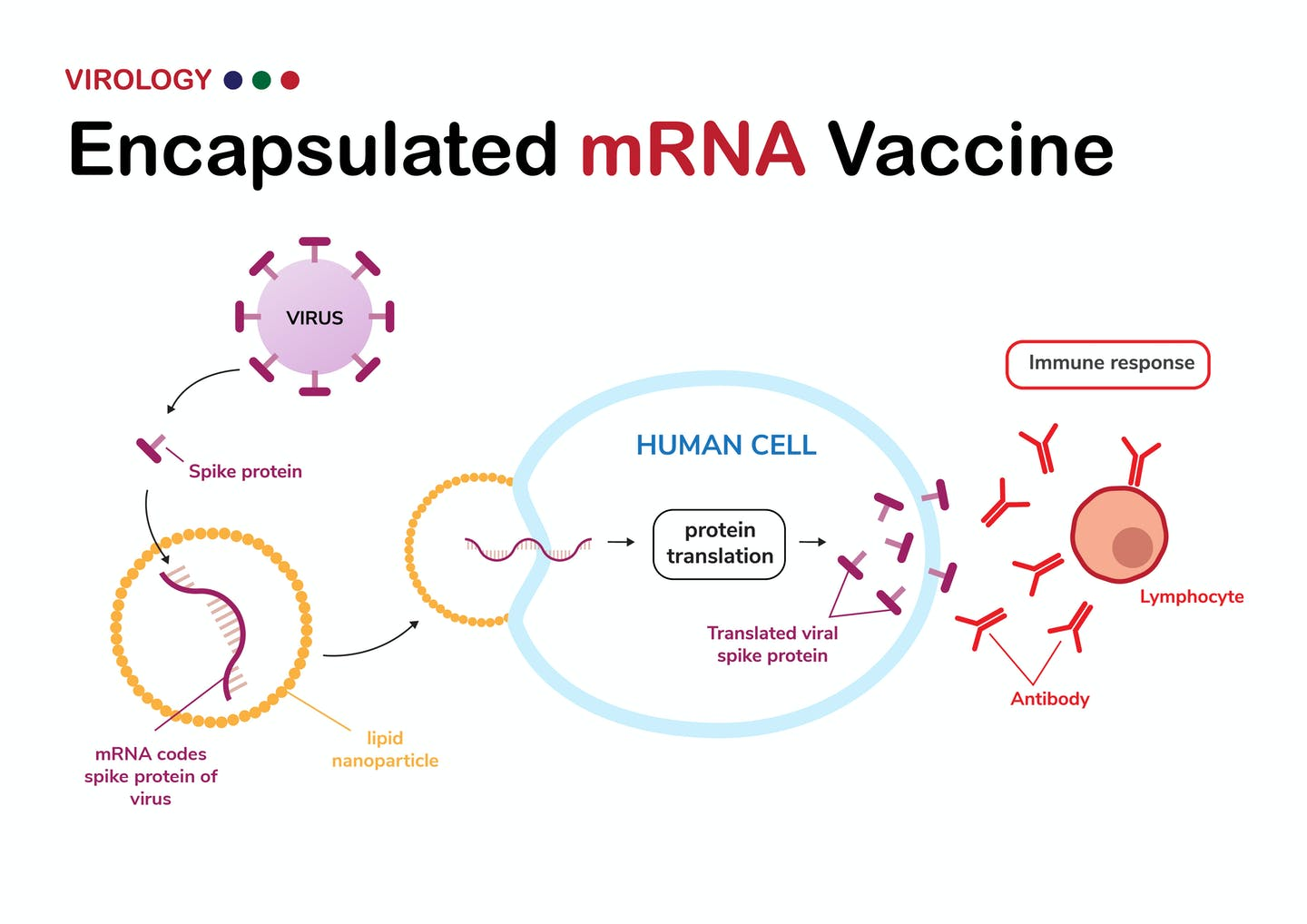 Diagram shows encapsulated mRNA that codes for spike protein of coronavirus