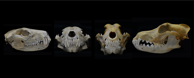 skulls and teeth on black background