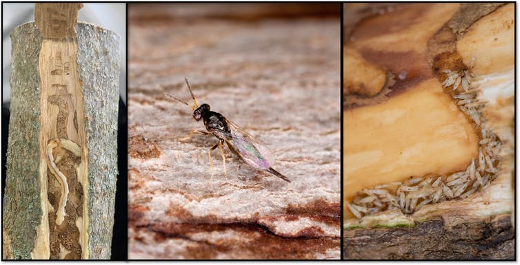 Ash borer larva and a wasp species that preys on it.