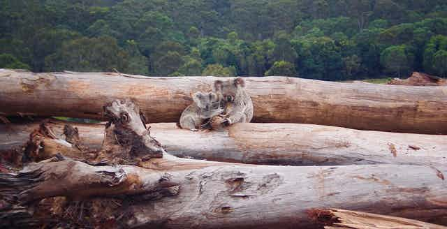 two koalas huddle on pile of logs