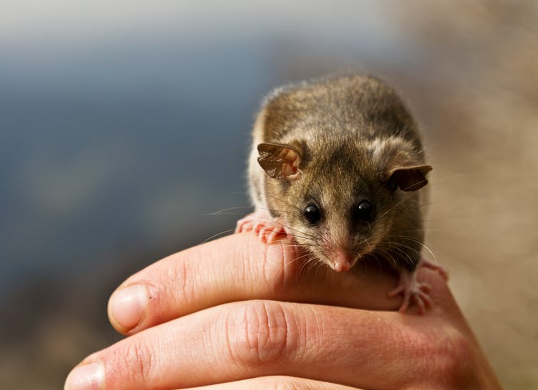Mountain pygmy possum on a a person's hand