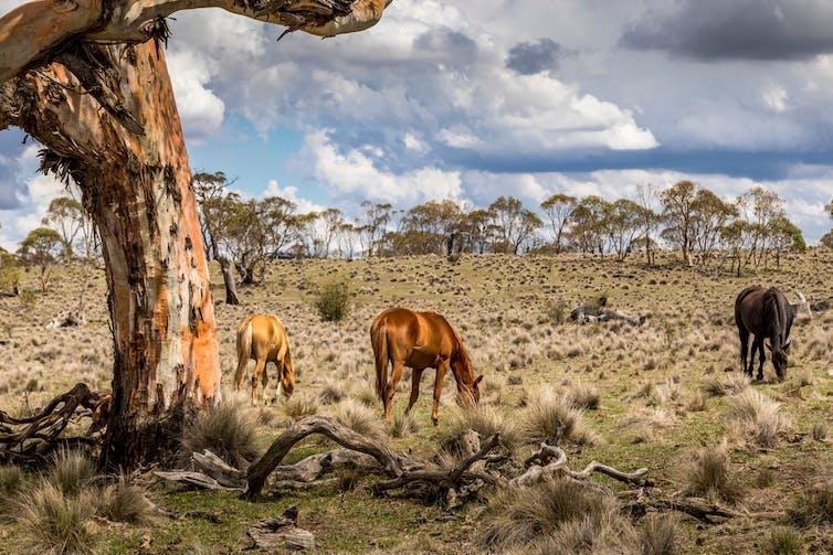 Feral horses graze near a tree