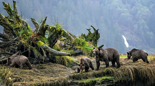A family of four bears walks beside moss-covered trees