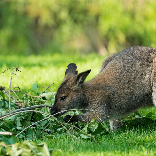 This shy little wallaby has a white moustache and shares its name with a pub meal. Yet it's been overlooked for decades